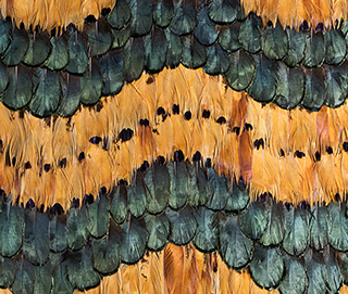 Peacock Pheasant Caramel Wave Feathers WallCovering