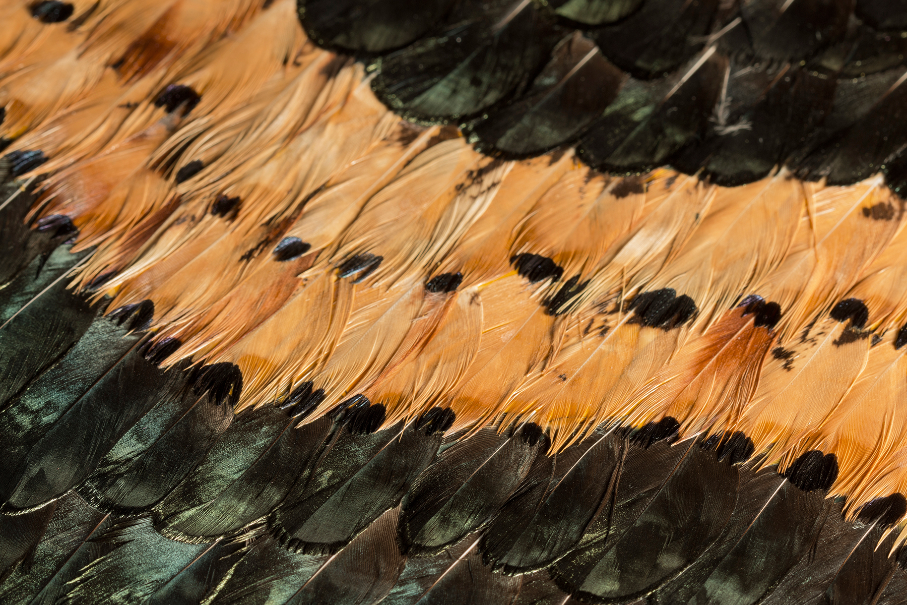 How to clean pheasant feathers - Peacock Pheasant Caramel Feathers Wallcovering